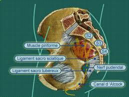 schéma morphologique du nerf pudental